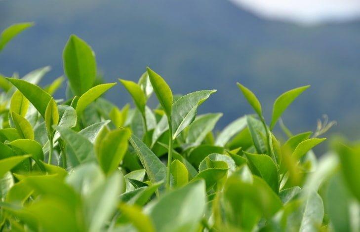 Как выращивают, собирают, а также как производят чай Матча